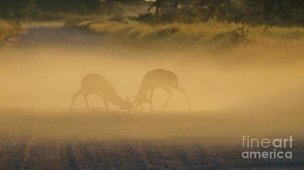 Hermanus A Alberts - Wildlife Fight and Sunset Dust