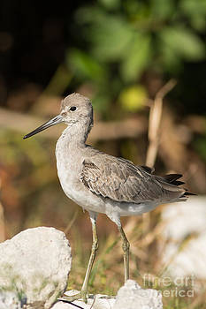 Willet Walking Near the Water by Natural Focal Point Photography