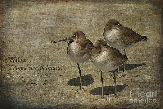 Willets by Cindi Ressler