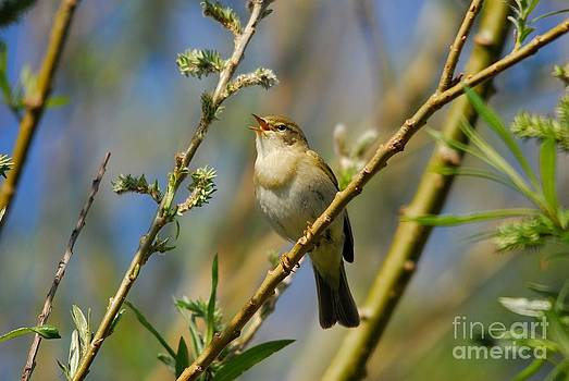 Willow Warbler Singing in Spring by John Kelly