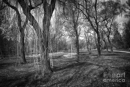 Elena Elisseeva - Willows in spring park