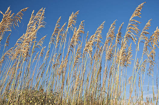 Wind Blown Beach Grass by Kelly D Photography