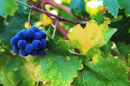 Wine Grapes in Fall by Robert  Aycock