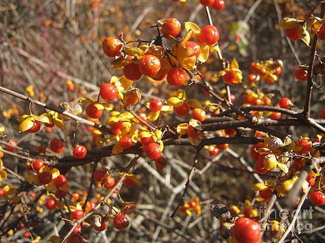 Winter Berries by Ara Wilnas