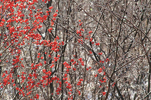 Winter Berries by Denise Lilly
