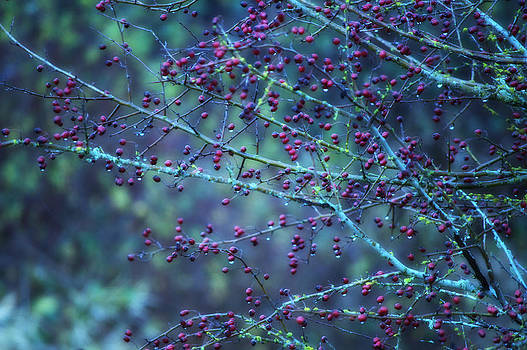 Winter Berries by Heather L Wright