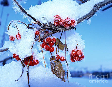 Winter Berries by Terry Cotton