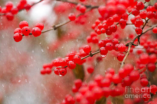Winter Berries by Tiffany Rantanen