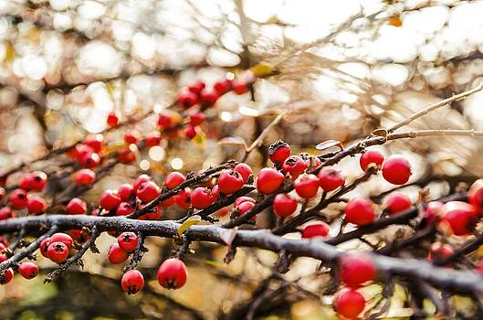 Winter berryes. by Slavica Koceva