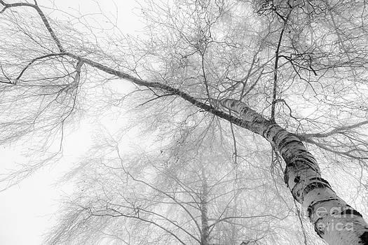 Winter Birch - Bw by Hannes Cmarits