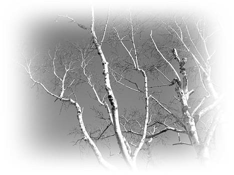 Valerie Bruno - Winter Birch