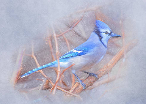 Winter blue jay by Emily Smith