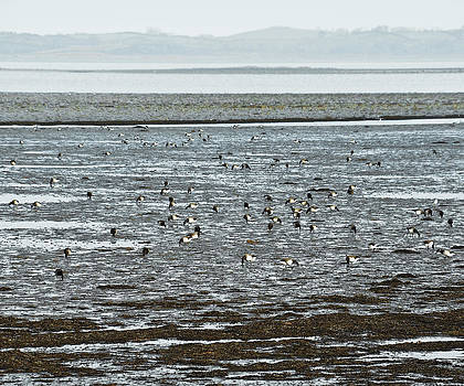 Jane McIlroy - Winter Brent Geese on Strangford Lough