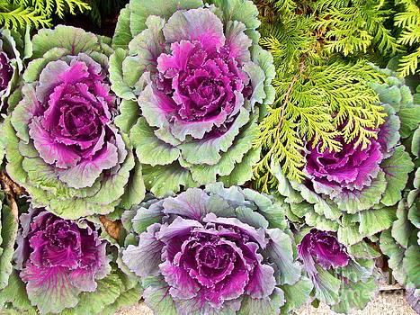 Winter Cabbages by Linda Zolten Wood