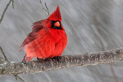 Winter Cardinal by Daniel Caron
