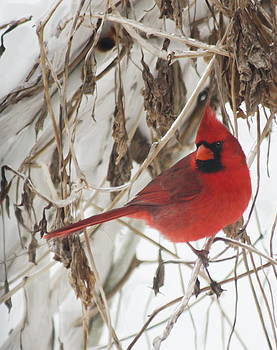 Winter Cardinal on Vines Original by Diane Merkle