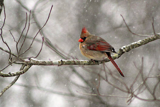 Winter Cardinal by William Tanneberger