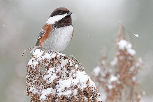 Peggy Collins - Winter Chickadee