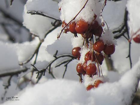 Winter Crab Apples by Steph Maxson