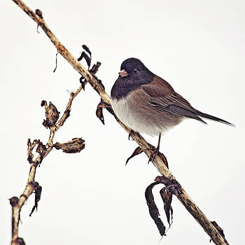 Winter Junco by Summer Kozisek