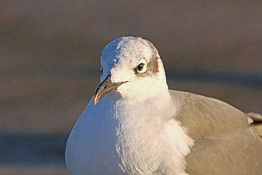 Winter Laughing Gull by Bob Richter