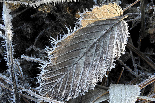 Winter Leaf Hoarfrost by Daniel J Kasztelan