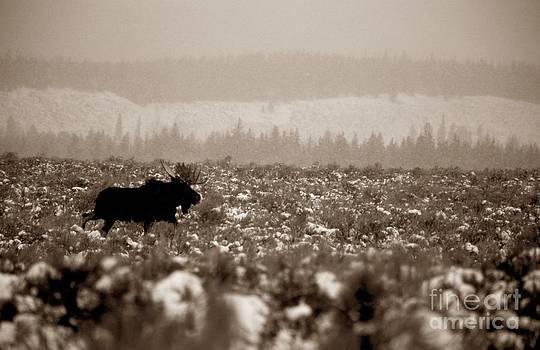 Christine Stack - Winter Moose