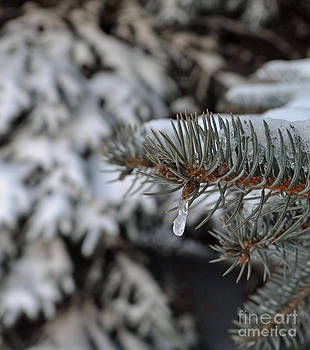 Winter Pine  by Briella Danowski