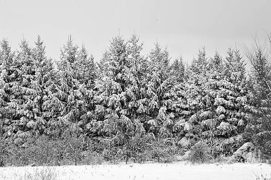 Elaine Mikkelstrup - Winter Pine