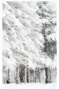 Winter Pines  by Pat Edsall