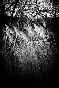 Winter Reeds by David Durham