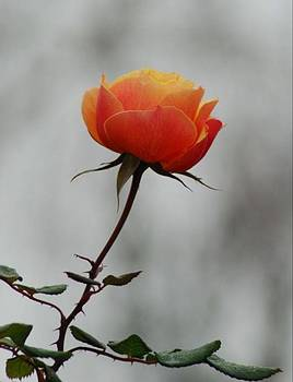 Winter Rose by Lawrence Pratt
