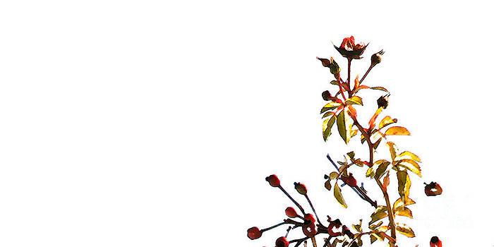 Linda Shafer - Winter Rose