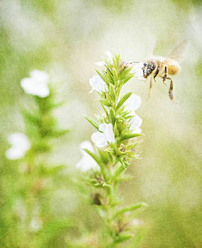 Winter savory and bee in garden by Lars Hallstrom