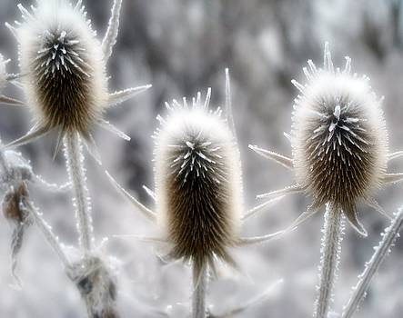 Gothicrow Images - Icy Winter Spikes