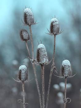 Gothicrow Images - Winter Teasels