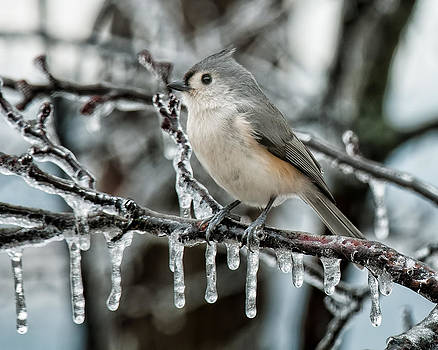 Lara Ellis - Winter Titmouse