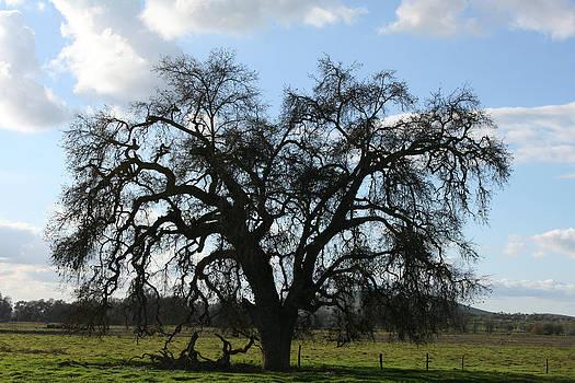 Winter Valley Oak by Marsha Ingrao