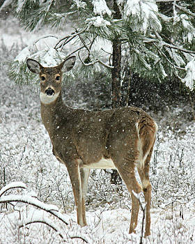 Connie Zarn - Winter Whitetail