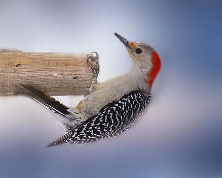 Winter Woodpecker by TnBackroadsPhotos