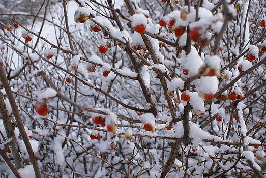 WinterBerrries by Paul Lavoie