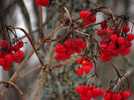Winterberry by Kimberly Mackowski