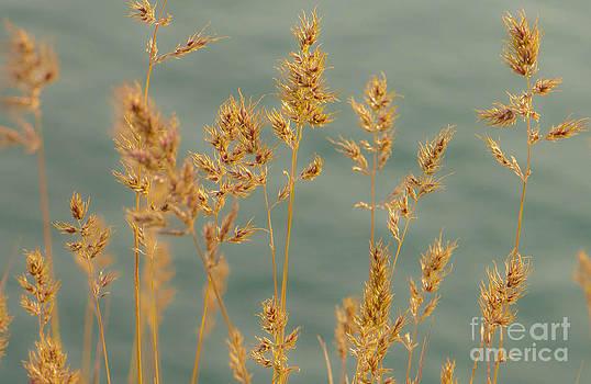 Wispy Grass by Sarah Crites