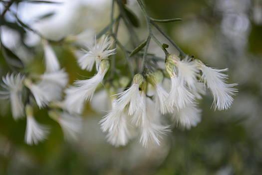 Patricia Twardzik - Wispy Soft White Petals