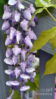 Wisteria After a Rain by Eva Thomas