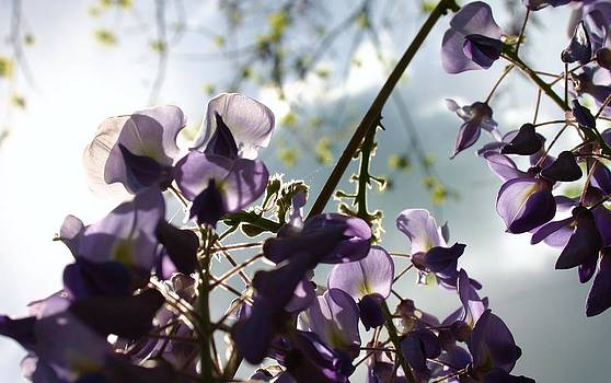 Robin Mahboeb - wisteria and sunlight