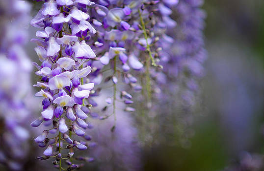 Wisteria on a rainy day by Dick Wood