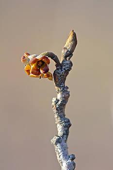 Mother Nature - Witch Hazel Springtime Twig - Hamamelis