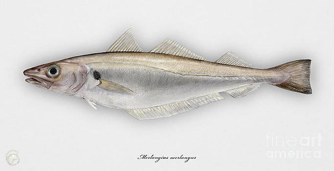 Withing Merlangius merlangus - Merlan - Merlano - Hvitting - Cod like fish - Seafood Art by Urft Valley Art