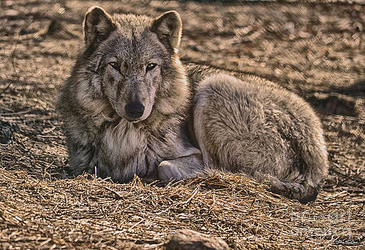 Wolf at Rest by Skye Ryan-Evans